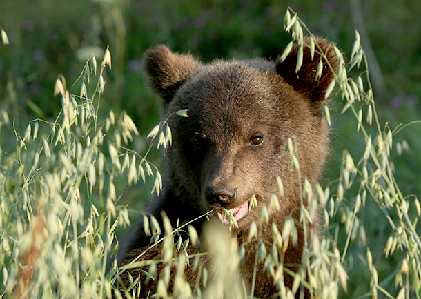 The ORBC released 14 bears in September and October.