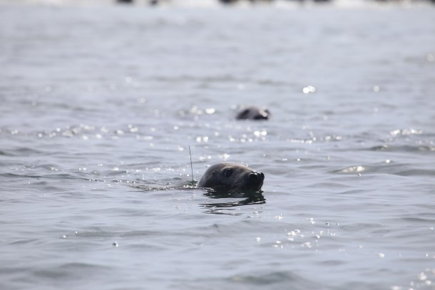 De zeehond die we eerder hadden bevrijd van vislijnen en weer uitgezet, werd gespot met haar zenderantenne een stukje boven water, waarna ze onderdook en verdween. Foto: Lisa Sette, Center for Coastal Studies