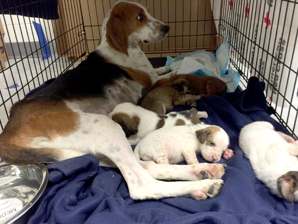 A dog rests comfortably in a crate with her newborn pups. PHOTO © RedRover/B. Grammie.
