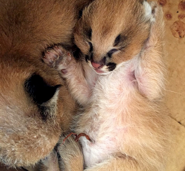 Newborn caracals Mavric and Goose were rescued and brought in for rehabilitation ©Tsavo Trust
