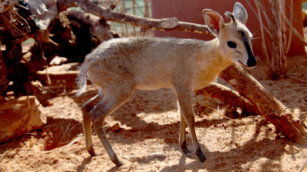 A duiker baby was admitted to the Tsavo Trust orphan animal project last month ©Tsavo Trust