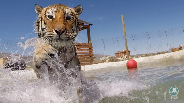 Lily enjoys the IFAW-funded pool at Nevada-based Safe Haven Rescue Zoo, a sanctuary to which IFAW has directed rescued big cats.