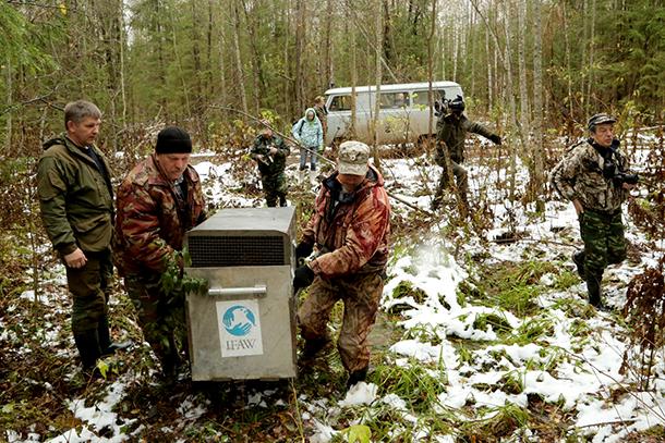 Der Leiter des Naturschutzgebiets Kologriv und die wissenschaftlichen Mitarbeiter werden die beiden Bären Misha und Tisha per Satellitenhalsband beobachten. [Text]