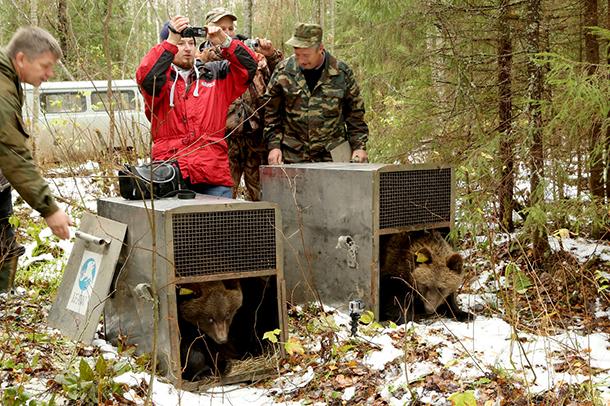 Die beiden Bären Misha und Tisha wurden im Naturschutzgebiet Kologriv freigelassen.