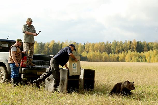 Ein Bär namens Masha wurde mit Pueschel in der Nähe des Dorfes Lugovo in der Region Penovskyi in Twer ausgewildert.