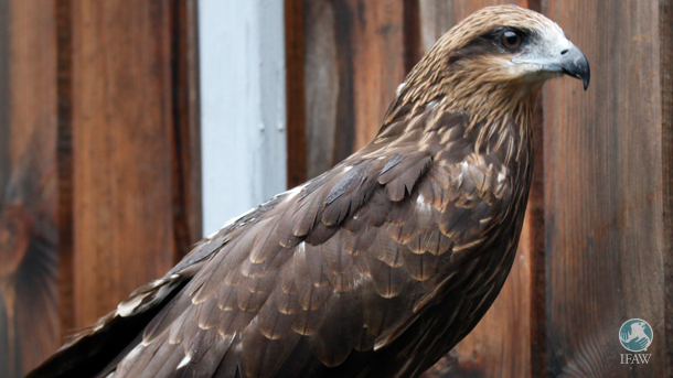 A black-eared kite makes a fantastic recovery after he had been found motionless under a car in Beijing.
