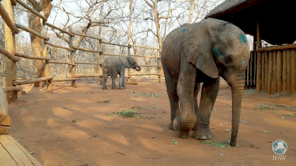 Kakaro (in front) and Kasewe (in rear) came into care at the EOP through recent rescues, joining fellow orphan Njanji at the Nursery.