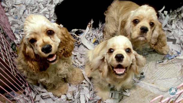 The changes from Victoria's Puppy Farm and Pet Shops Bill are significant in the fight against puppy farms with very low animal welfare standards. PHOTO: © IFAW/Jun