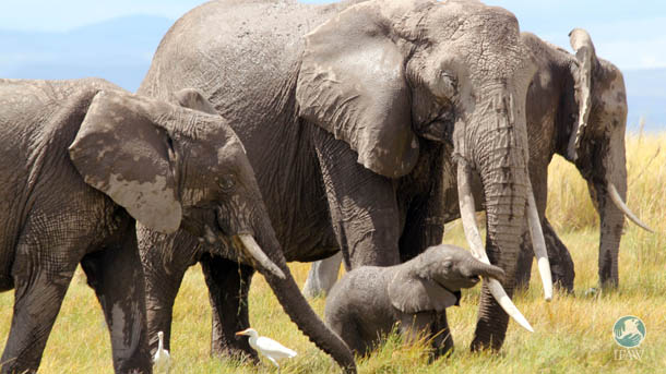 IFAW, in partnership with KWS, is now set to collar six more elephants to augment information about the use and range of the elephants in this rapidly changing landscape.