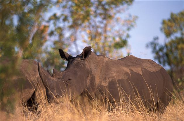 Nashörner sind in Südafrika bedrohter denn je