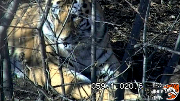 Artem, a little older than Vladik, is the largest tiger ever held at the PRNCO Tiger Center. He was released to the wild only three days after being admitted.