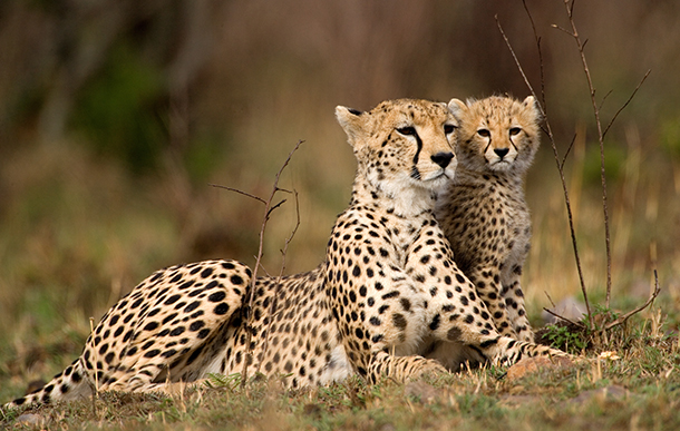 Hundreds of cheetah cubs are smuggled every year from Africa to the Arabian Peninsula and suffer a 70 percent mortality rate during the journey.]