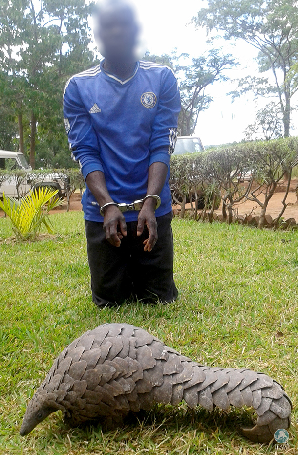 Arrested trader and a rescued pangolin.