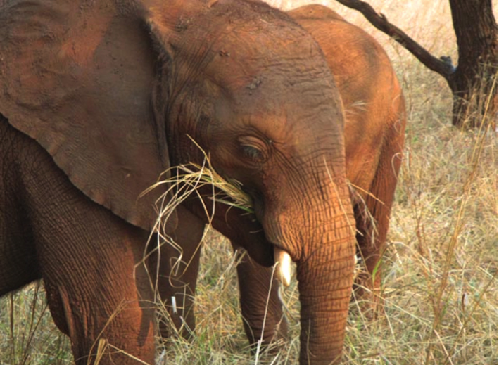 During the dry season Musolole and his surrogate siblings have had to learn how to find the best food when there is very little around.