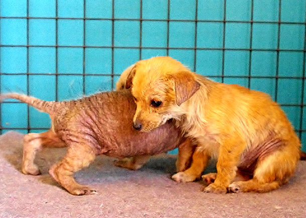 Dogs come into CLAW suffering so bad from mange that they have lost most of their fur.