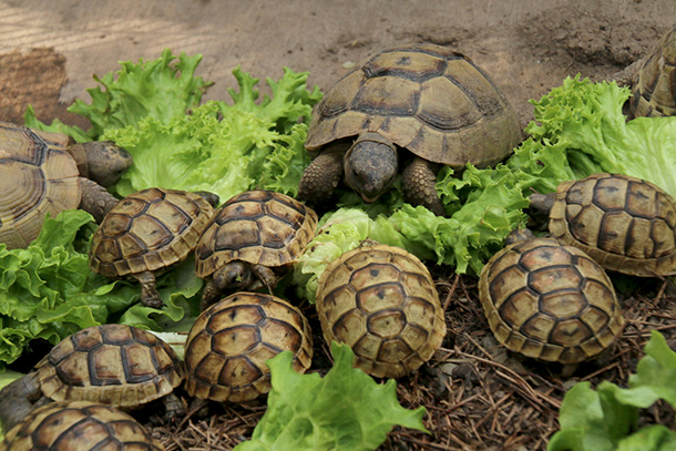 Young tortoises have a wonderful appetite, and in the first years of life they grow particularly fast. The larger a tortoise is the fewer natural predators it has.