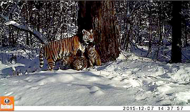 A camera trap in the Bastak Nature Reserve caught Amur tigress Zolushka with two cubs. PHOTO: © BASTAK