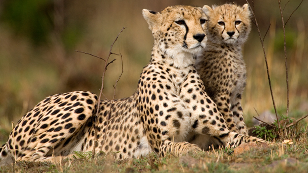 Cheetahs cubs taken from the wild can wind up as house pets, and IFAW is working to reduce the demand and enforce illegal trafficking. Photo: © Jim Zuckerman