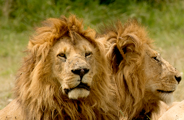 The US Fish & Wildlife Service has announced broad protections to all lions under the US Endangered Species Act.