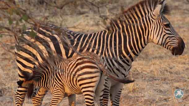 Zebra numbers had previously dropped from 600 to a mere six individuals but in 2016 the park has been blessed with three new foals.