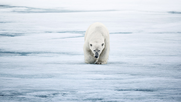 The Arctic waters recently protected by President Obama are home to polar bears, bowhead whales, and walruses and constitute one of the world's most important fisheries. PHOTO: © IFAW/U. Golman/www.urigolman.com