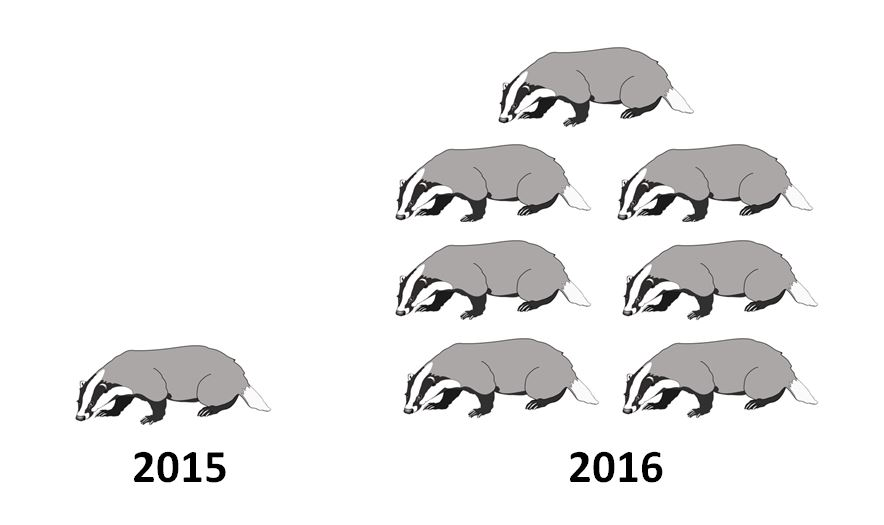 Over seven times as many badgers were killed this year than in 2015.