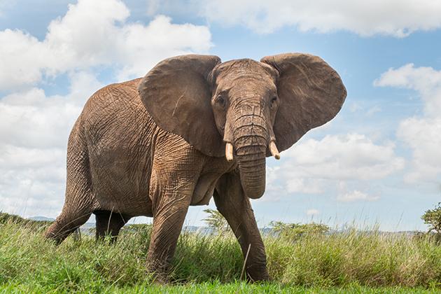 Schlappe für Namibia bei CITES Konferenz: Teilnehmer wollen über Schließung nationaler Elfenbeinmärkte verhandeln