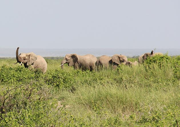 Amboseli ist ein echtes Elefanten-Paradies. 1400 graue Riesen leben hier, relativ geschützt vor Wilderern