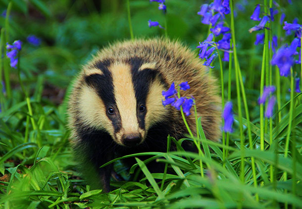 In one area an average of 59 badgers were killed per day during the cull.