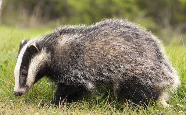 Cruel and unscientific badger cull set to continue in 2017