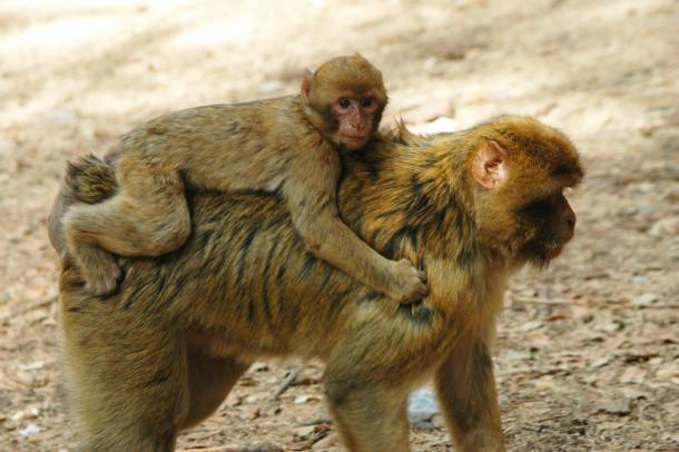 Une formation au Maroc, pays d'origine du macaque de Barbarie (espèce en voie d'extinction), aidera les agents de protection de la faune à détecter et interdire les produits issus du trafic d'espèces sauvages et les animaux de contrebande avant qu'ils ne franchissent les frontières. © Ronald Troostwijk / MPC