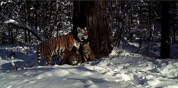 The world of animal rescue has good news for the New Year: the first rehabilitated Amur tiger has given birth in the wild. © Bastak