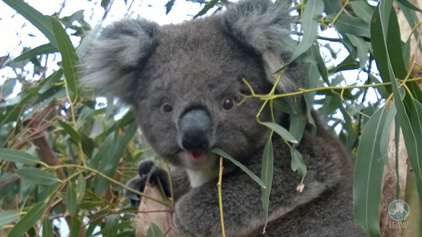This koala was found wandering in the slash on an active harvesting site, no mum, no home, terrified.  He has nowhere to go and little food.