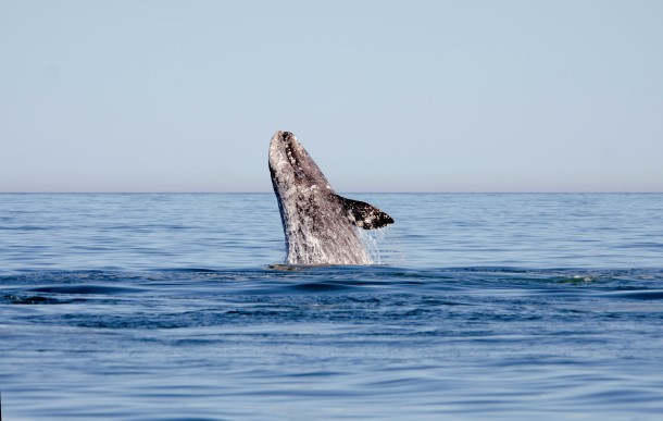 La pollution sonore sous-marine et les collisions avec les bateaux constituent une menace importante pour toutes les baleines, dont les baleines grises (en photo ci-dessus).