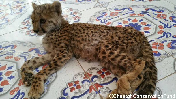 cheetah cub veepee after her rescue in somaliland