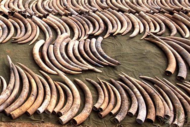 In Kenia beschlagnahmtes Elfenbein