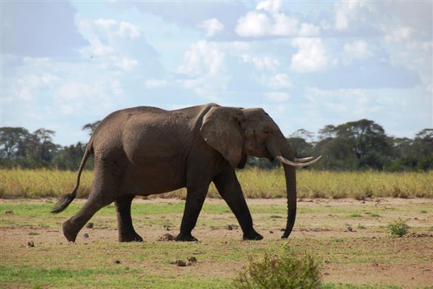 Begehrt: Die Stoßzähne alter Elefantenbullen