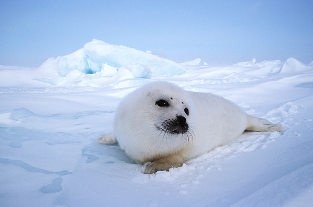 IFAW/Discovery/Lionsgate documentary Huntwatch sheds light on the plight of harp seals like the one pictured above. © IFAW