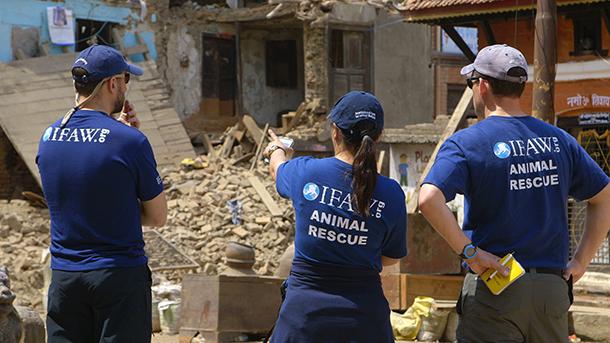 L'équipe d'intervention d'urgence d'IFAW répond actuellement aux besoins des animaux victimes des deux séismes. L'équipe apporte nourriture, eau, médicaments et soins vétérinaires aux chiens, chats, animaux de ferme et au bétail dans les zones sinistrées.