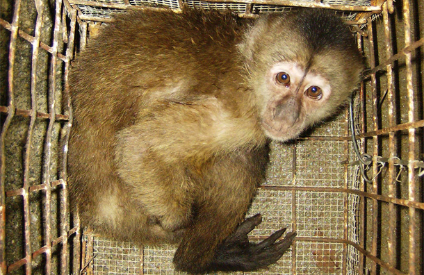 capuchin monkey confiscated by smugglers