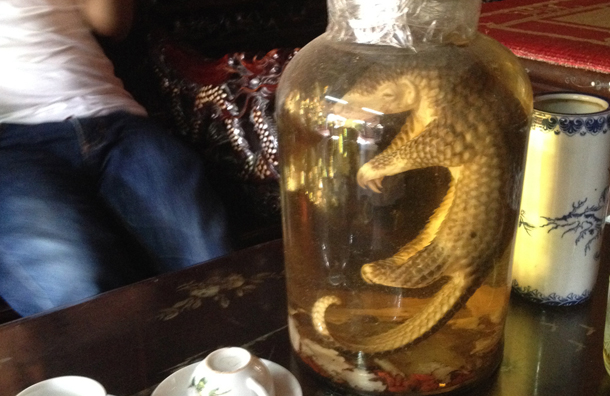 pangolin floating in jar of liquid
