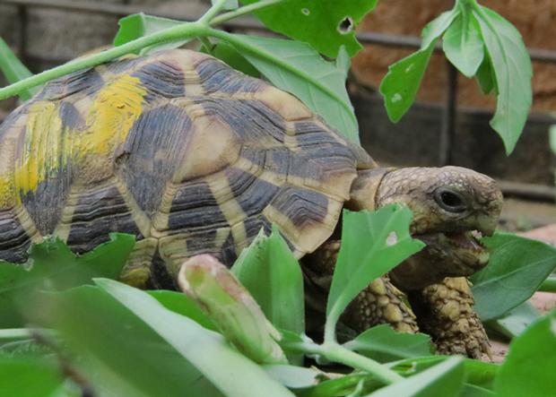 Sehr häufig werden streng geschützte Landschildkröten im Internet gehandelt.