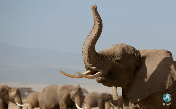 UK set to introduce a total ivory ban thanks to campaigns from IFAW and others