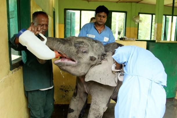 Ein einjähriges Elefantenkalb, das von seiner Herde getrennt und in der Nähe des Nameri-Nationalparks aufgefunden wurde, ist gerettet und zur Versorgung in unsere Wildtierrettungsstation (CWRC) gebracht worden.