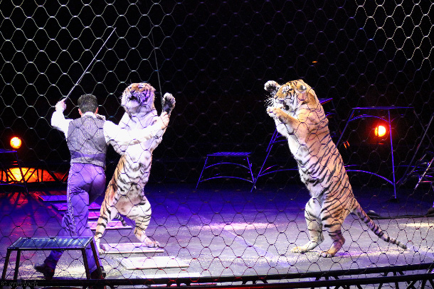 On January 14, Feld Entertainment announced the Ringling Bros. and Barnum & Bailey circus will perform its final show in May 2017. Awareness of how the animals are trained and cared for has caused consumers to shifted their interests and their dollars elsewhere. PHOTO: ©️Greyloch