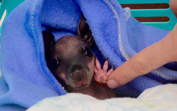 A kangaroo joey receives care at the rescue center in Victoria. © IFAW/V. Ruoppolo