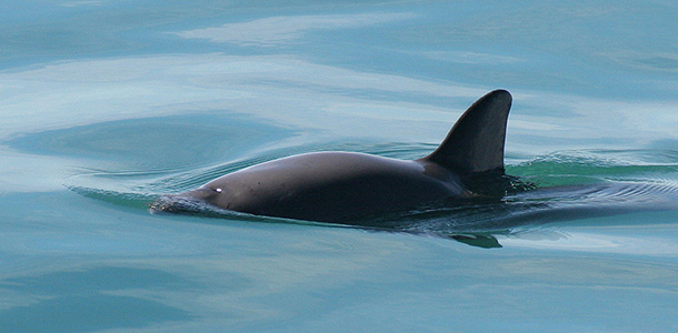 The vaquita is the smallest and the most endangered cetacean in the world. Image. Wikimedia Commons: Paula Olson, NOAA.
