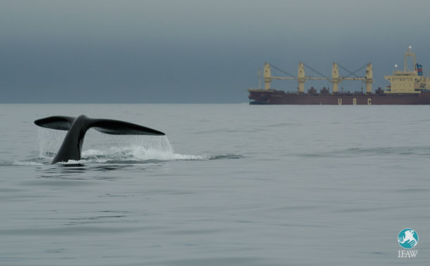 Threats to our oceans - ship strikes harm whales