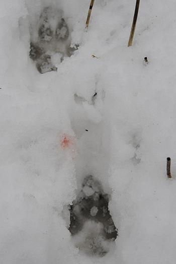 Spuren eines Weibchens: Blutstropfen, das Zeichen der Ranz, sichtbar zwischen ihren Fußabdrücken
