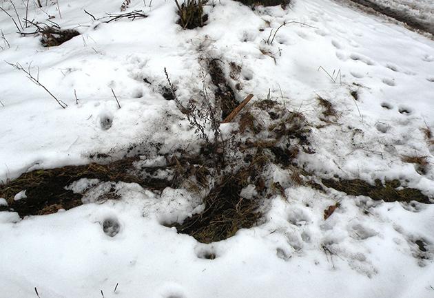 Kratzspuren auf dem Boden an Wegkreuzungen warnen eindringende fremde Wölfe, dass das Gebiet bereits besetzt ist.